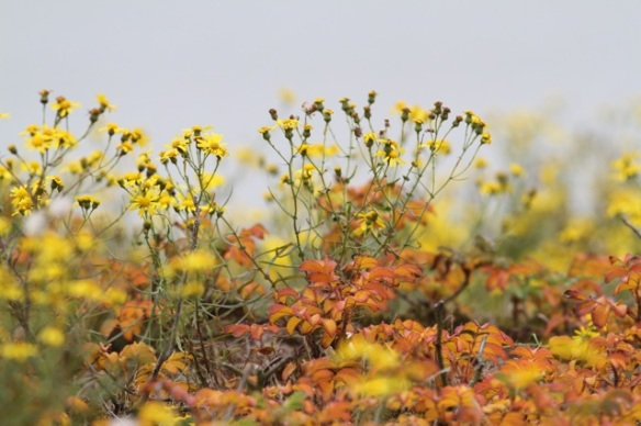 Maasvlakte, with narrow-leaved ragwort and Japanese roses, 24 October 2015