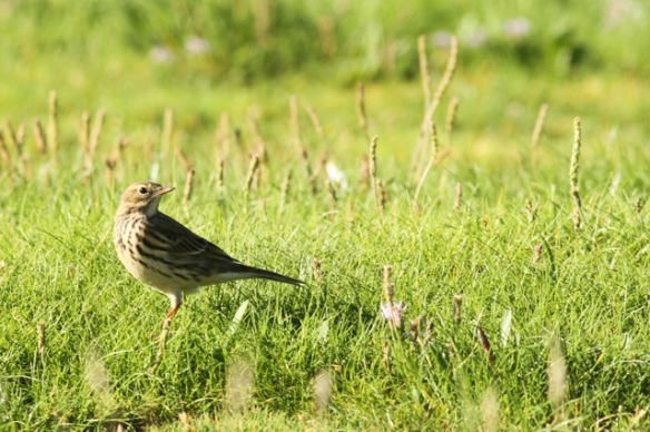 Meadow pipit, 27 September 2015