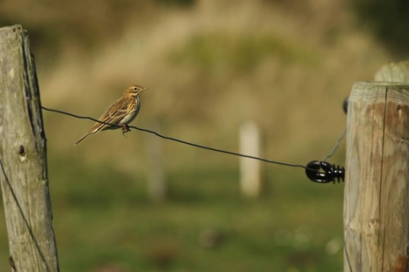 Meadow pipit, on fence, 27 September 2015