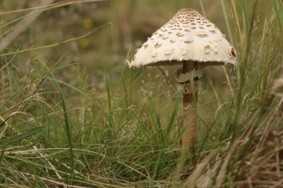 Parasol mushroom, 28 September 2015