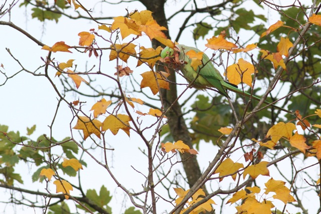 Ring-necked parakeets and autumn colours (3/6)