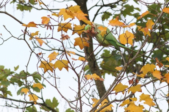 Ring-necked parakeet, 23 October 2015