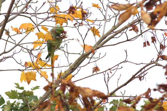 Ring-necked parakeets and autumn colours (1/6)