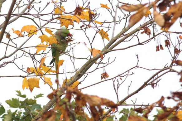 Ring-necked parakeet male, 23 October 2015