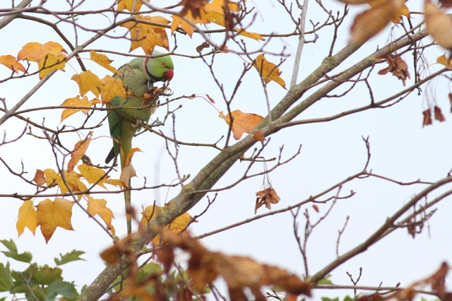 Ring-necked parakeets and autumn colours (2/6)