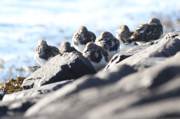 Ruddy turnstones, 27 September 2015