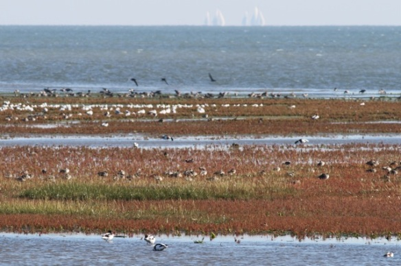 Shelducks, Vlieland, 30 September 2015
