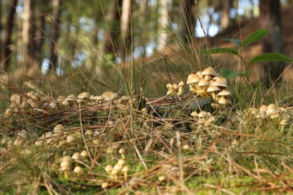 Sulphur tufts, Vlieland, 27 September 2015