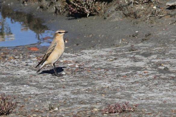 Wheatear, 30 September 2015