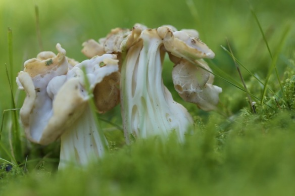 White saddle fungi, 26 September 2015