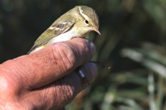 Yellow-browed warbler, 30 September 2015