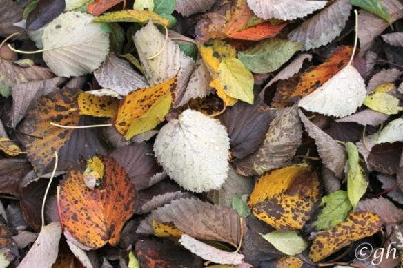 Autumn leaves, 8 November 2015