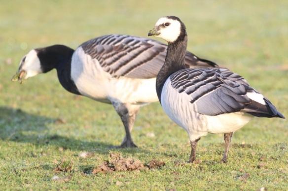 Barnacle geese, 1 November 2015