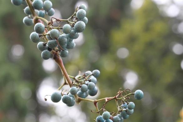 Blue berries, 8 November 2015