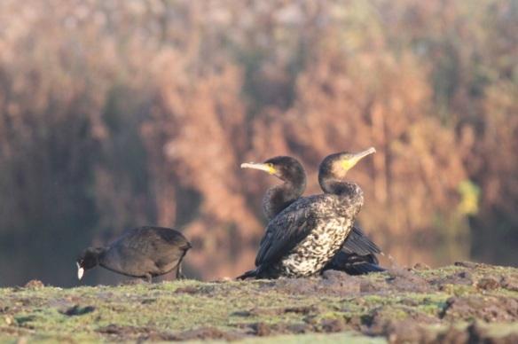 Coot and great cormorants, 1 November 2015