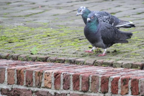 Domestic pigeons, 8 November 2015