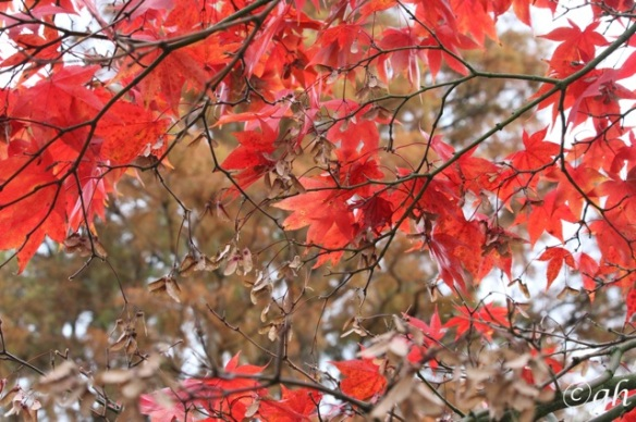 Downy Japanese maple, 8 November 2015