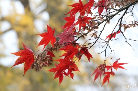 Downy Japanese maple and gingko, 8 November 2015