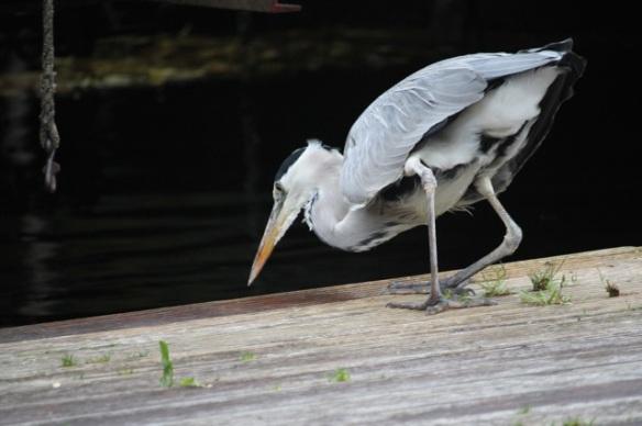 Grey heron looking, 7 November 2015