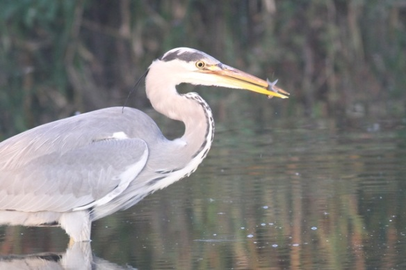 Grey heron with fish, 1 November 2015