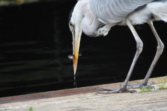 Grey heron with fish, 7 November 2015