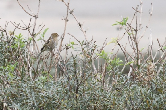 Maasvlakte, female chaffinch, 24 October 2015