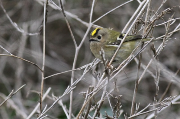 Maasvlakte, female goldcrest, 24 October 2015
