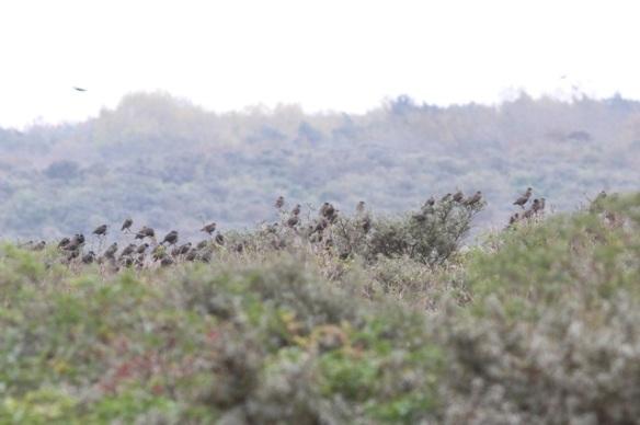 Maasvlakte, starlings, 24 October 2015
