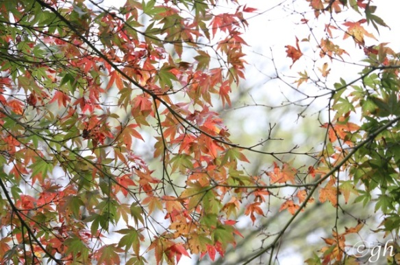 Smooth Japanese maple, 8 November 2015