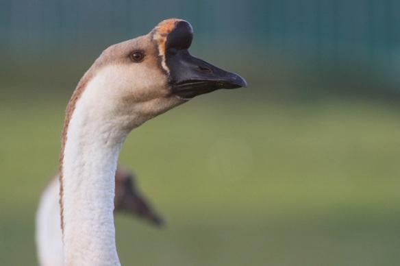 Swan goose, 1 November 2015