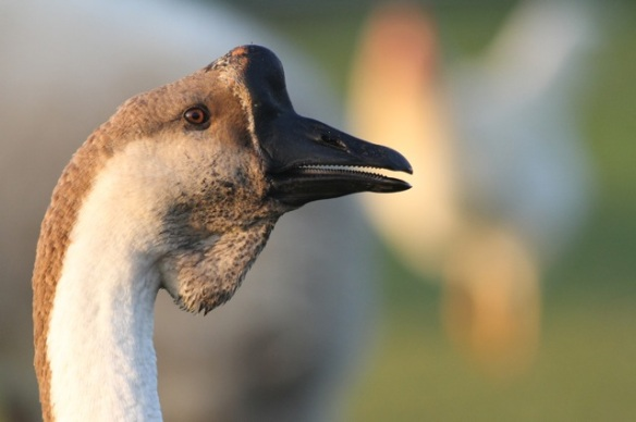 Swan goose, on 1 November 2015