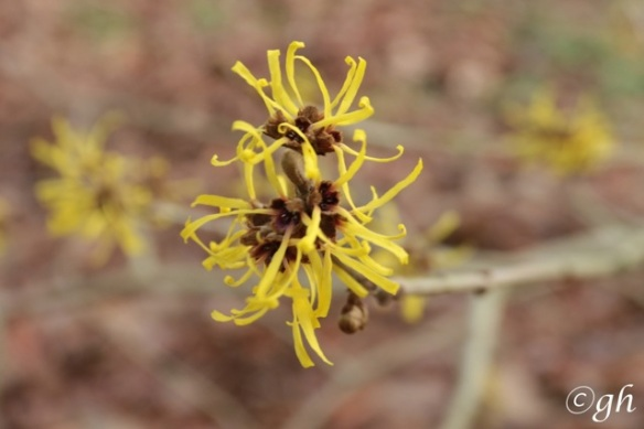 Gooilust, witch-hazel flowers, 26 December 2015