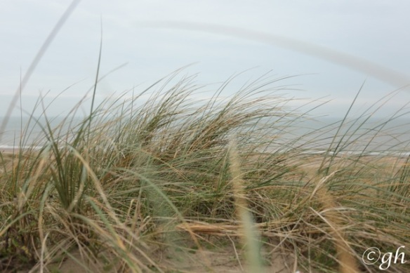 Meijendel, European beachgrass, 19 December 2015