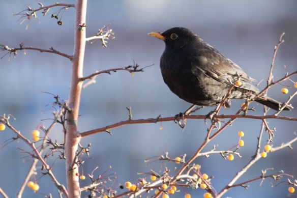 Blackbird male, 17 January 2016