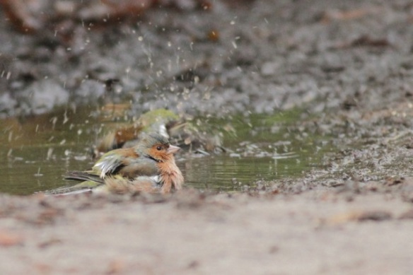 Gooilust, 23 January 2016, chaffinches