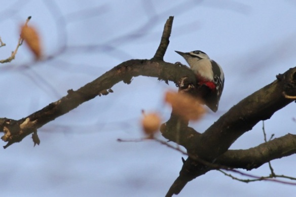 Gooilust, 23 January 2016, great spotted woodpecker