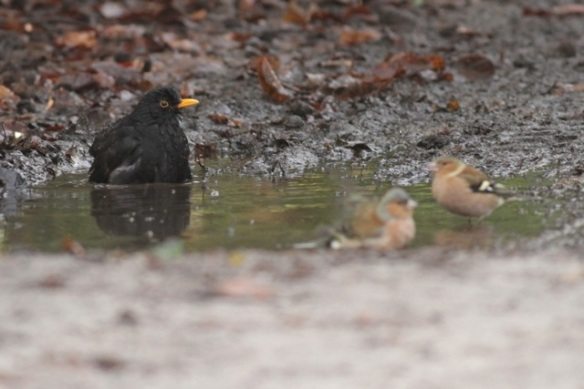 Gooilust, 23 January 2016, male blackbird and chaffinches