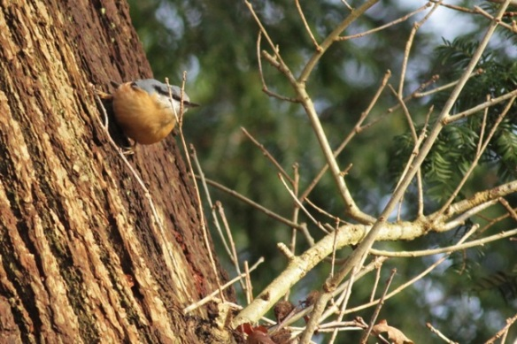 Gooilust, 23 January 2016, nuthatch