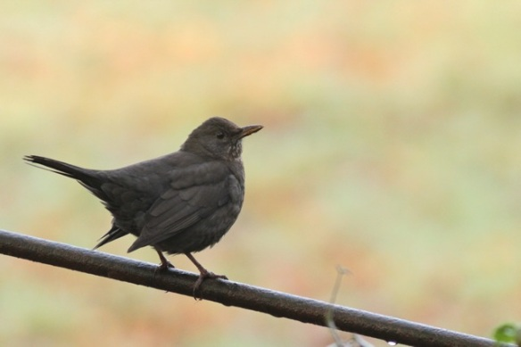 Gooilust, 23 January 2016, female blackbird