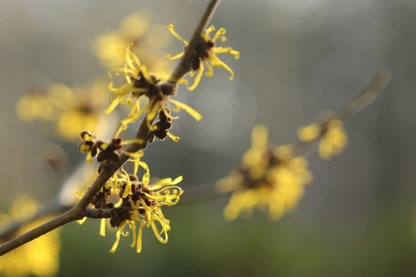 Gooilust, witch-hazel flowers, 8 January 2016