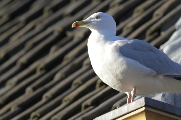 Herring gull, 17 January 2016