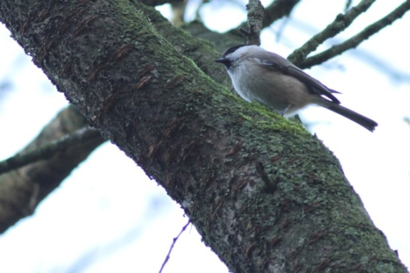 Marsh tit, Gooilust, 25 January 2016