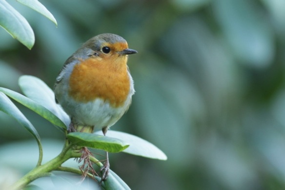 Robin, Gooilust, 25 January 2016