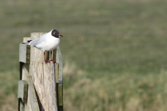 Black-headed gull on fence, 10 March 2016