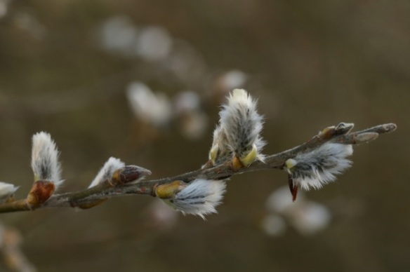 Catkins, 6 March 2016