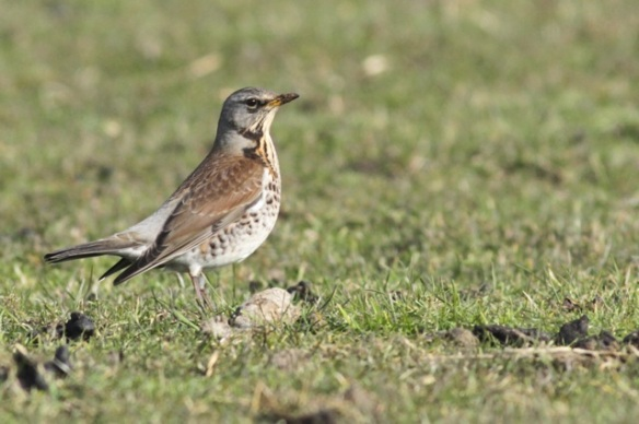 Fieldfare, Texel, 10 March 2016