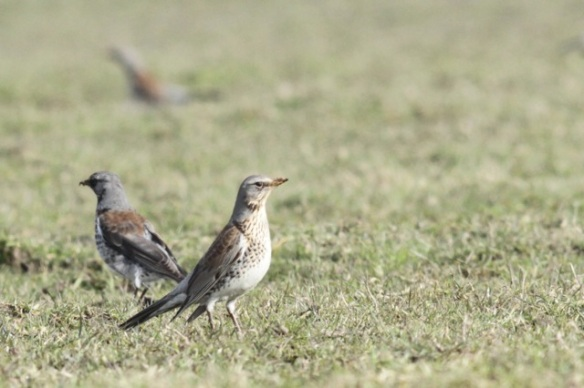 Fieldfares and mistle thrush, 10 March 2016