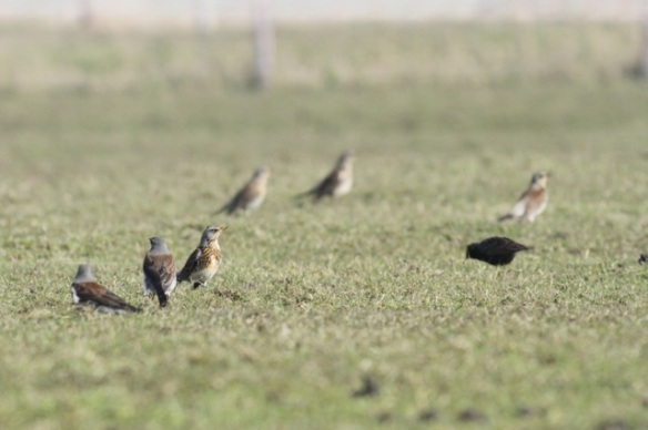 Fieldfares, Texel, 10 March 2016