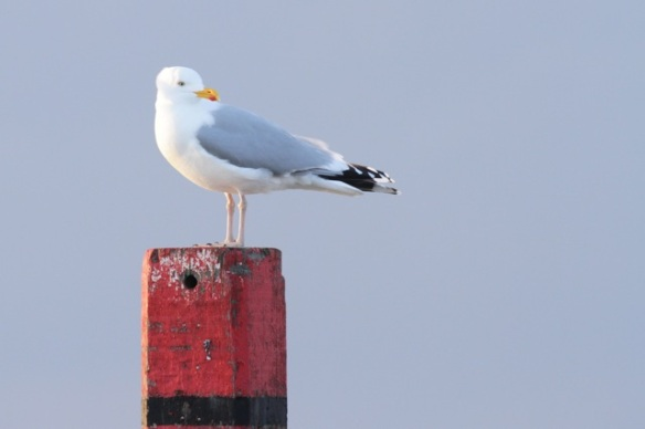 Herring gull on pole, Texel, 5 March 2016