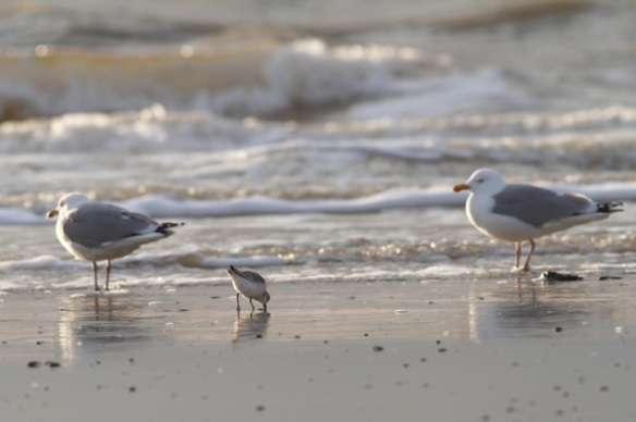 Herring gulls and sanderling, Texel, 5 March 2016